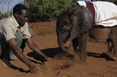 In this photo taken Monday, Oct. 8, 2012 seven-and-a-half month old orphaned elephant calf named Moses plays in a dust pit with carer Matimat Julius  as he takes his daily walk  at his home in Lilongwe, Malawi. Moses was found alone and close to death in the Vwaza Wildlife Reserve. He has been adopted by the Jumbo Foundation where he is cared for and is being raised by humans. (AP Photo/Denis Farrell)