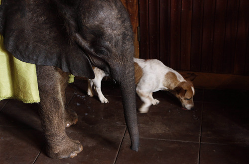 In this photo taken Tuesday Oct. 9, 2012 pet dog Kirby, licks up spilled formula feed fed to seven-and-a-half month old orphaned elephant calf named Moses, at their home in Lilongwe, Malawi. Moses was found alone and close to death in the Vwaza Wildlife Reserve. He has been adopted by the Jumbo Foundation where he is cared for and is being raised by humans. (AP Photo/Denis Farrell)