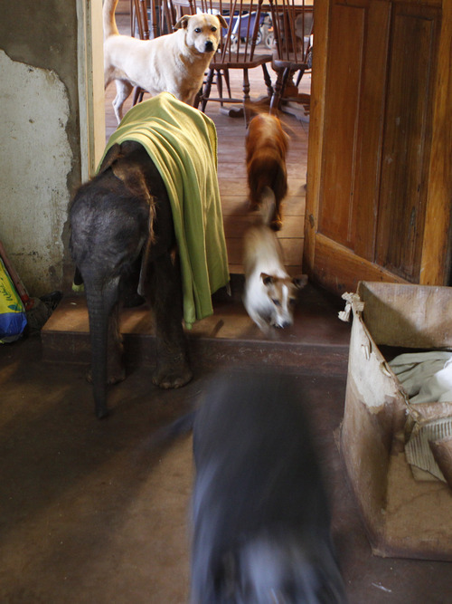 In this photo taken Tuesday Oct. 9, 2012 seven-and-a-half month old orphaned elephant calf named Moses makes his way into the kitchen as the pet dogs pass by at their home in Lilongwe, Malawi. Moses was found alone and close to death in the Vwaza Wildlife Reserve. He has been adopted by the Jumbo Foundation where he is cared for and is being raised by humans. (AP Photo/Denis Farrell)