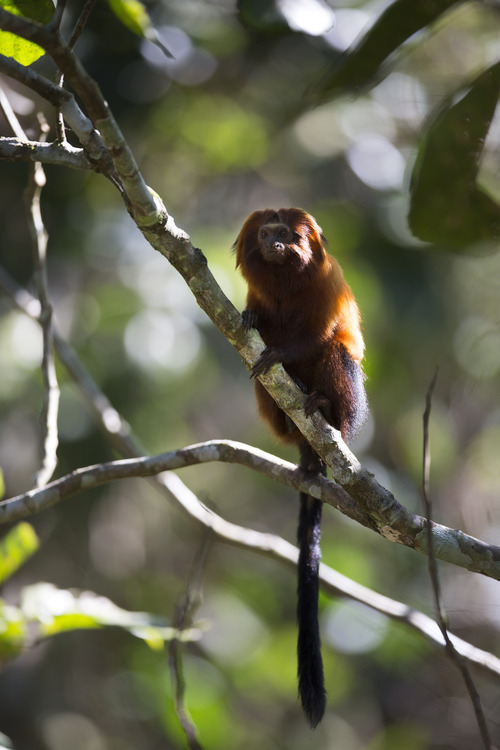 In this Oct. 10, 2012 photo, a golden lion tamarin sits on a branch in the Atlantic Forest region of Silva Jardim, in Brazil's state of Rio de Janeiro. The charismatic little monkey is bouncing back from near extinction just in time to run for mascot of Rio's 2016 Olympics. The recovery effort that raised their population to 1,700 has become an international example of effective conservation, top experts say. (AP Photo/Felipe Dana)