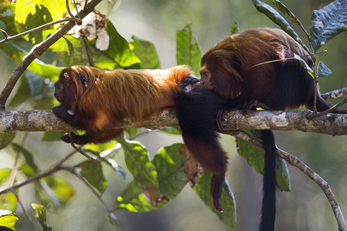 In this Oct. 10, 2012 photo, a golden lion tamarin lounges on a branch during a grooming session in the Atlantic Forest region of Silva Jardim, in Brazil's state of Rio de Janeiro. The charismatic little monkeys are bouncing back from near extinction just in time to run for mascot of Rio's 2016 Olympics. The recovery effort that raised their population to 1,700 has become an international example of effective conservation, top experts say. (AP Photo/Felipe Dana)