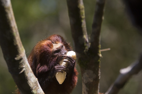 In this Oct. 10, 2012 photo, a golden lion tamarin eats a banana in the Atlantic Forest region of Silva Jardim, in Brazil's state of Rio de Janeiro. The charismatic little monkey is bouncing back from near extinction just in time to run for mascot of Rio's 2016 Olympics. The recovery effort that raised their population to 1,700 has become an international example of effective conservation, top experts say. (AP Photo/Felipe Dana)