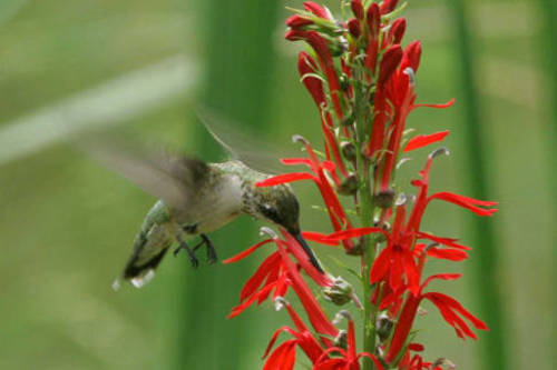 The Bear River Bird Refuge is offering free nature films every Saturday in November, including one about hummingbirds like this ruby-throated hummingbird. Photo courtesy of the U.S. Fish and Wildlife Service
