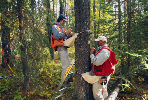 Rick Egan  |  The Salt Lake Tribune   Michael O'Brien (left) and Gurp Thandi (right), Canadian Forest Service technicians, count the beetle larva living inside the bark of a tree near Grande Prairie, Alberta, Wednesday, September 19, 2012. Their agency is attempting to document the influence of temperature on beetle development.