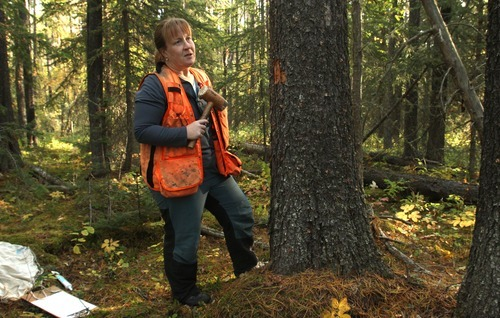 Rick Egan  |  The Salt Lake Tribune   Kathy Bleiker chips away bark in search of mountain pine beetles in a forest near Grande Prairie, Wednesday, September 19, 2012. Her research for the Canadian Forest Service is seeking to describe how temperature influences beetle development.