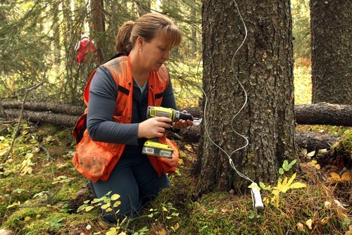 Rick Egan  |  The Salt Lake Tribune   Kathy Bleiker inserts a monitor into a tree to measure the temperature, in a forest near Grande Prairie, Wednesday, September 19, 2012. Her data have shown that a few degrees -- -35 Celsius versus -40 -- can make the difference in whether a cold snap kills beetle larvae.