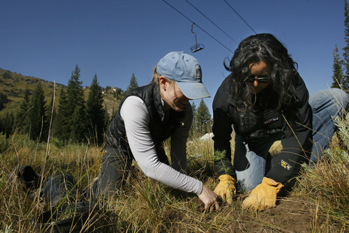 Rick Egan    The Salt Lake Tribune   Amy Collins, with Tree Utah (left), and Maura Olivos, an Alta ecologist,  plant  a tree at Alta ski resort, Saturday, Sept. 8, 2012.  More than 50 volunteers helped Tree Utah and the Alta Environmental Center plant 1,800 plants and trees.