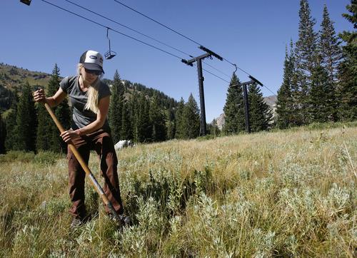 Rick Egan    The Salt Lake Tribune   Volunteer Ileana Anderson, Park City, plants a tree at Alta ski resort, Saturday, Sept. 8, 2012.  More than 50 volunteers helped TreeUtah and the Alta Environmental Center plant 1,800 plants and trees.