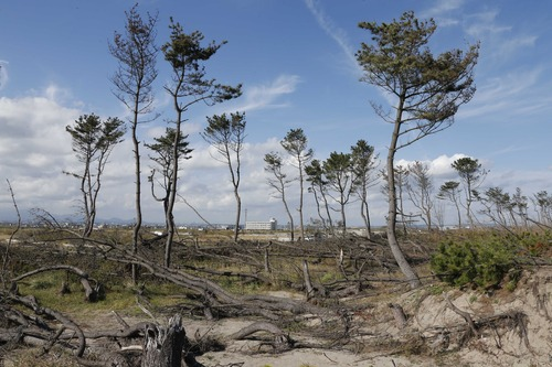 In this Oct. 9, 2012 photo, dying pine trees, part of the windbreak forest severely damaged by March 11, 2011 earthquake and tsunami, stand near the Arahama beach in Sendai, northeastern Japan. Japan's accounting of its budget for reconstruction from the disasters is crammed with spending on unrelated projects, while all along Japan's northeastern coast, dozens of communities remain uncertain of whether, when and how they will rebuild. (AP Photo/Koji Sasahara)
