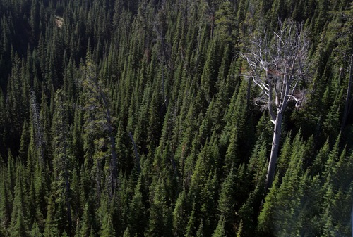 Rick Egan  |  The Salt Lake Tribune   A dead whitebark pine tree stands in the southern Canadian Rockies as a reminder of the mountain pine beetle outbreak that swept from British Columbia to Alberta, Friday, September 28, 2012.