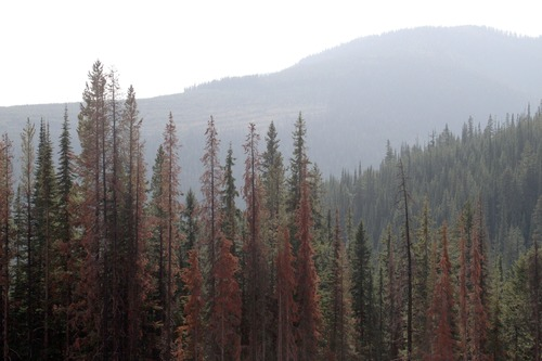 Rick Egan  | The Salt Lake Tribune   Red tress show signs that they were attacked by the mountain pine beetle, in a forest near Kimberley, Alberta,  Canada, Saturday, September 15, 2012.