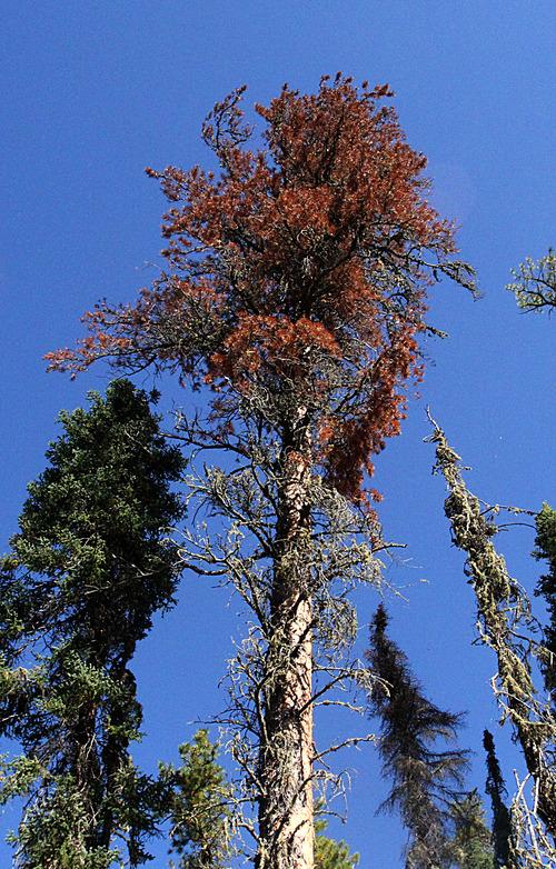 Rick Egan  | The Salt Lake Tribune   A dying Jack Pine tree, near Lesser Slave Lake, Alberta, Tuesday, September 18, 2012.