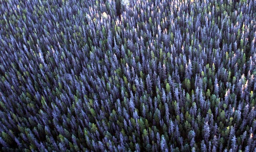 Rick Egan  |  The Salt Lake Tribune Gray trees mark the path of the bark beetle near Prince George, British Columbia.