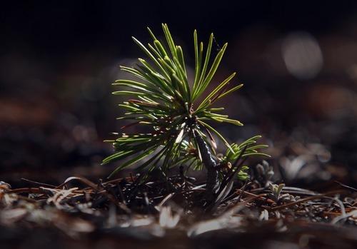 Rick Egan  |  The Salt Lake Tribune   A whitebark pine seedling grows in the Wind River Mountains of Wyoming, Monday, October 1, 2012.