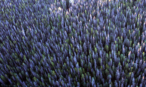 Rick Egan  |   The Salt Lake Tribune  Gray trees mark the devastation of the bark beetle in the forests near Prince George, British Columbia.