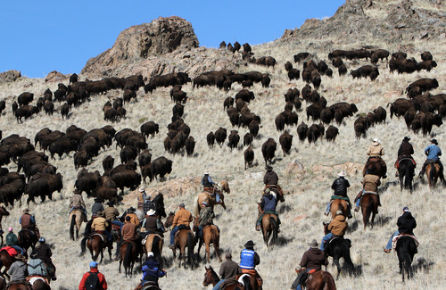 Francisco Kjolseth  |  The Salt Lake Tribune Riders from near and far numbering 430 move a heard of over 500 bison from the rocky West side of Antelope Island during the 26th annual bison roundup on Friday, October 26, 2012.