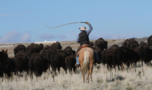 Francisco Kjolseth  |  The Salt Lake Tribune Cracking the whip, riders from near and far numbering 430 move a heard of over 500 bison on Antelope Island during the 26th annual bison roundup on Friday, October 26, 2012.