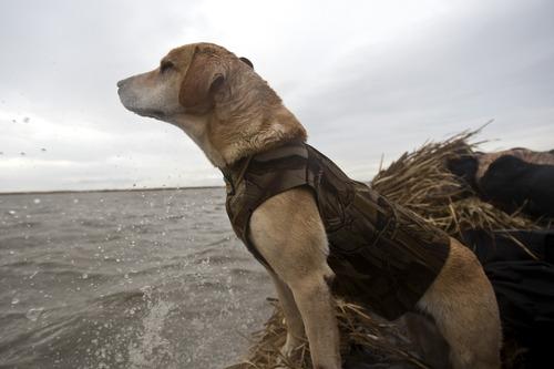 Chris Detrick  |  The Salt Lake Tribune  Carl Taylor's dog JB looks for ducks while boating in Farmington Bay Tuesday November 23, 2010.
