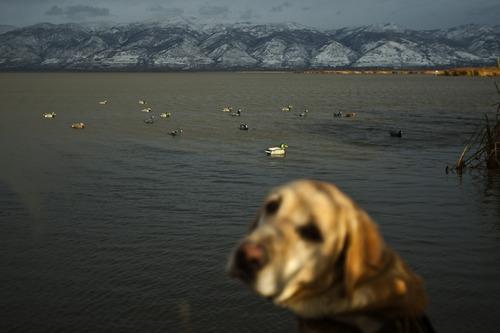 Chris Detrick  |  The Salt Lake Tribune  Carl Taylor's dog JB waits to retrieve a dead duck while duck hunting in Farmington Bay Tuesday November 23, 2010. Decoy ducks are in the background.