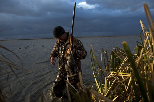 Chris Detrick  |  The Salt Lake Tribune  Carl Taylor carries the pintail duck he shot back to his boat while duck hunting with his dog JB in Farmington Bay Tuesday November 23, 2010.