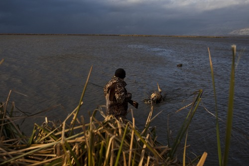 Chris Detrick  |  The Salt Lake Tribune  Carl Taylor's dog JB retrieves a dead pintail duck while duck hunting in Farmington Bay Tuesday November 23, 2010. Decoy ducks are in the background.