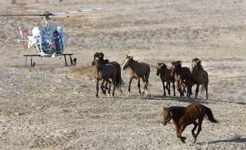 Al Hartmann  |  Tribune file photo A helicopter drives a small group of wild horses towards a capture area in remote west Tooele County in 1996.