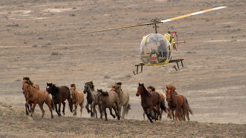 Al Hartmann | Tribune file photo Wild horses in Utah's Dugway Range in western Utah were rounded up in 1996 because authorities said their numbers were to large to be supported by the limited range and water.