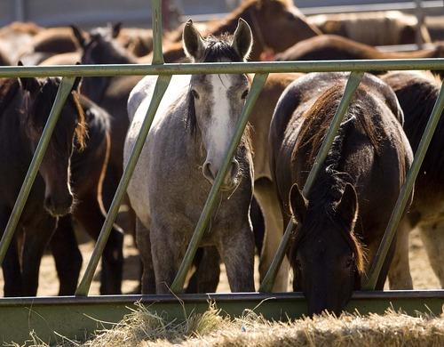 Trent Nelson  |  Tribune file photo Horses at the Salt Lake Wild Horse & Burro Center in Herriman, Thursday, October 13, 2011.