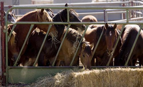 Trent Nelson  |  The Salt Lake Tribune Horses at the Salt Lake Wild Horse & Burro Center in Herriman, Utah, Thursday, October 13, 2011.