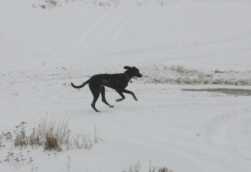 Scott Sommerdorf  |  The Salt Lake Tribune               A dog frolics in the new snow falling at Alta Ski Area, Friday, November 8, 2012