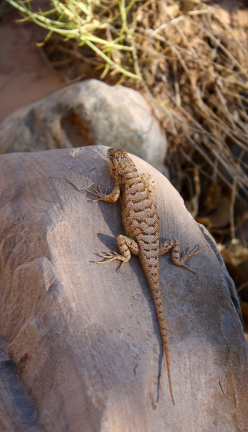 Al Hartmann  |  The Salt Lake Tribune Lizzard warms himself in the sun in Dark Canyon.