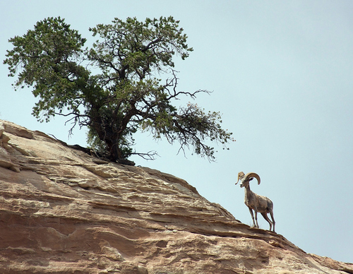 Photo by Mike Coronella  Desert Bighorn Sheep taken in the Island in the Sky District of Canyonlands National Park.