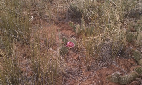 A red cactus flower sits on the trail to Murphy Point Overlook in the Island in the Sky District of Canyonlands National Park. Photo by Nate Carlisle/ The Salt Lake Tribune