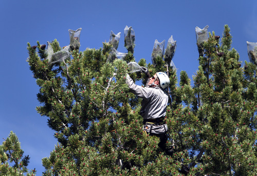 "Rick Egan  | The Salt Lake Tribune   Eric  ""Doc"" Janssen puts cages over the pine cones of a whitebark pine to protect them from the squirrels and birds, Thursday, August 4, 2011."