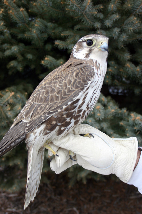 | Scott Root/Utah Division of Wildlife Resources Prairie falcons are among the birds that are often used in falconry.