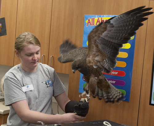 Steve Griffin | The Salt Lake Tribune Erin Adams, of the Wildlife Rehabilitation Center of Northern Utah, holds Darth, a Swainson's Hawk, as they visit Riverton Elementary School to honor  Raegan  Fay's third-grade class for their help in the rehabilitation of an eagle that was burned the Saratoga Springs 'Dump Fire' last summer. The students organized a service project for the eagle, named Phoenix, to aid in its recovery. The students basically adopted Phoenix, raised money for its rehabilitation, made a scrapbook to chronicle the eagle's recovery, and built 30 bird perches for other birds injured in the fire. The service project was such a success, the students collected enough supplies to take care of Phoenix for a year. For all their hard work in helping to save the life of this precious eagle, the Wildlife Rehabilitation Center of Northern Utah will surprise Mrs. Fay's class with a thank you party at the Riverton school in Riverton, Utah Monday December 10, 2012.