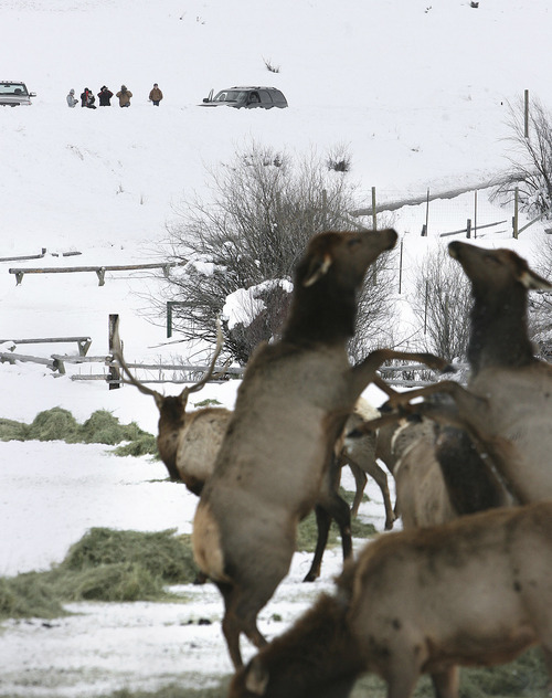 Scott Sommerdorf  |  Tribune file photo The annual free elk viewing at Hardware Ranch in Cache County begins Friday and the ranch's Rocky Mountain Elk Festival is Saturday. On average, about 350 elk can be seen at the ranch.