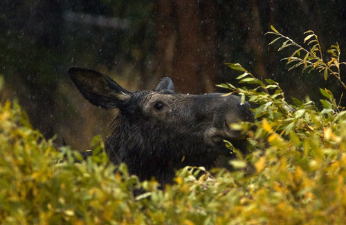 Steve Griffin  |  Tribune file photo Snow falls on a moose as it snacks on some bushes near Brighton Ski Resort in 2011.