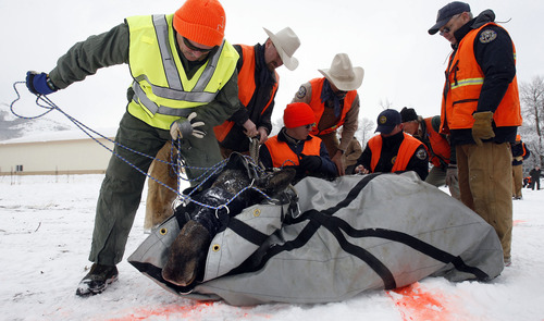Al Hartmann |  Tribune file photo A captured moose is carefully unwrapped by Utah and Colorado Division of Wildlife personnel after being transported via helicopter to a staging area near Huntsville. There the moose were given radio collars, ear tags, and had blood drawn before being placed in trailers to be driven to Colorado as part of an animal exchange program.