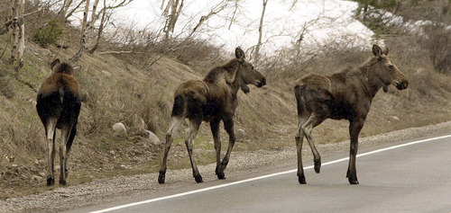 Steve Griffin | Tribune file photo A cow moose, left, and her twin yearling calves walk along the road in Big Cottonwood Canyon in 2006.
