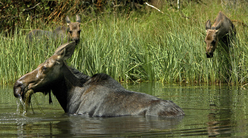 Steve Griffin |  Tribune file photo As her twin calves keep a close watch, a cow moose eats water plants pulled from the bottom of the fishing pond near the entrance to Snowbird in 2006.