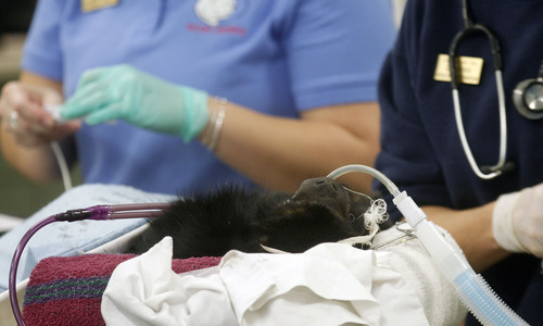 Al Hartmann  |  The Salt Lake Tribune Eli, a black howler monkey, is under anesthesia and prepped for his sinus operation at L.S. Skaggs Animal Health Center at Hogle Zoo Tuesday, Dec. 18. Ear, nose and throat specialist, Dr. Richard Orlandi from the University of Utah School of Medicine, performed the endoscopic procedure. Several weeks ago, Eli developed thick white nasal discharge that didn't respond to treatment.