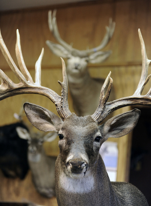 In this photo taken Wednesday, Dec. 19, 2012, a stuffed deer heads hang from the walls of taxidermist Bill Moos' shop in Bryan, Texas. Moos, who owns a collection of more than 30 guns, can be spotted any given morning, prowling his roughly 40-acre (16-hectare) ranch with his dogs and a shotgun slung over his shoulder. (AP Photo/Pat Sullivan)