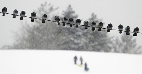 Al Hartmann     The Salt Lake Tribune Pigeons huddle together on wire in Sugarhouse Park during Wednesday's  storm December 26 as sledders take to the fresh snow on the south side hill.