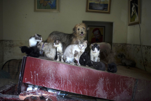 A dog and a clowder of cats seek refuge on a piece of furniture in a home flooded by heavy rains in the Xerem neighborhood, about 31 miles north of Rio de Janeiro, Brazil, Thursday, Jan. 3, 2013. Nearly 8.5 inches of rain fell in just 24 hours in the mountainous region north of Rio. Hard rains in Brazil are creating a state of alert in Rio de Janeiro and in nearby spots where flood-triggered mudslides have killed hundreds in recent years. (AP Photo/Felipe Dana)