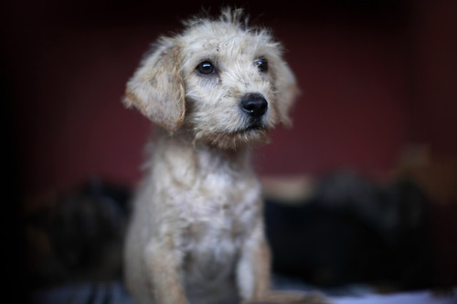 A puppy that was caught near the site of four fatal maulings sits inside a cage at a city dog pound in Mexico City,Wednesday, Jan. 9, 2013. Authorities have captured dozens of dogs near the scene of the attacks in the capital's poor Iztapalapa district, but rather than calm residents, photos of the forlorn dogs brought a wave of sympathy for the animals, doubts about their involvement in the killings and debate about government handling of the stray dog problem. (AP Photo/Dario Lopez-Mills)