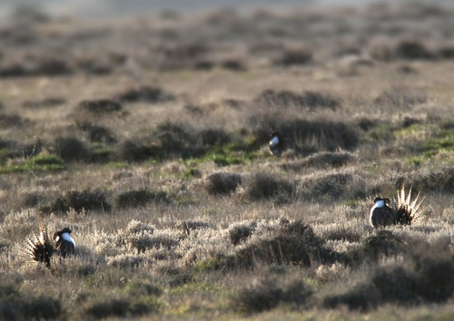Rick Egan  | Tribune file hpoto   Federal wildlife officials propose lising the Gunnison sage grouse, pictured here last spring performing its distinct courtship ritual on a lek near Monticello, for protection under the Endangered Species Act.