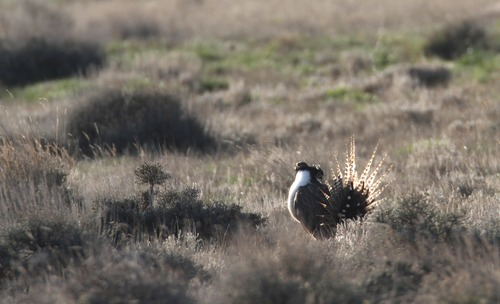 Rick Egan  | Tribune file photo   Federal wildlife officials propose lising the Gunnison sage grouse, pictured here last spring performing its distinct courtship ritual on a lek near Monticello, for protection under the Endangered Species Act.