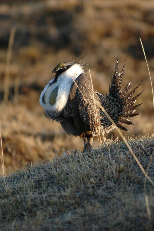 Tribune file photo  Gunnison sage grouse have been proposed for listing under the Endangered Species Act.