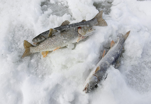 "Scott Sommerdorf   |  The Salt Lake Tribune Three cutthroat trout lie on the ice of Scofield Reservoir during the Utah State Parks' ""Trifishalon"" ice fishing tournament. The first leg of the tournament was Saturday at the reservoir."